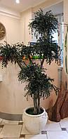 Эвкалипт дерево , стабилизированные растения