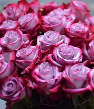 """Троянда ч/г """"Діп Перпл"""""""