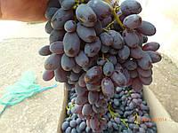 Саженцы винограда   г.ф.  2-3-6