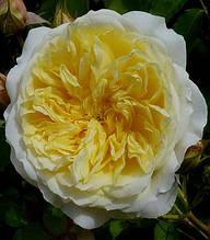 """Троянда англійська """"Пілігрим"""""""