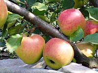 Яблоко осеннее Айдаред