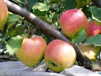 Яблоко осеннее Айдаред, саженец