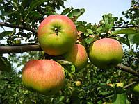 Яблоко осеннее Вильмута