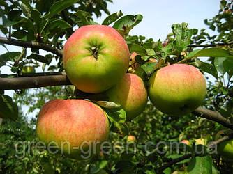 Яблоко осеннее Вильмута, саженец