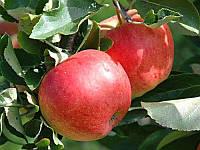 Яблоко осеннее Гала