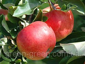 Яблоко осеннее Гала, саженец