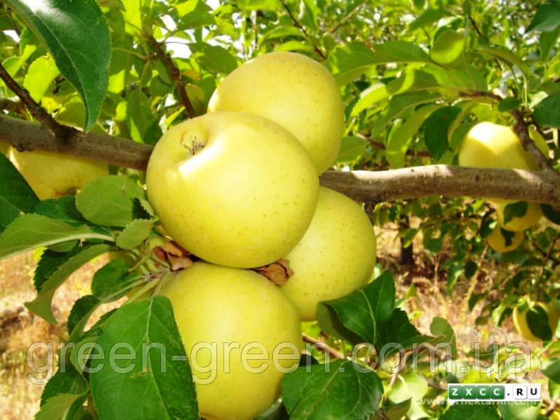 Яблоко зимнее Голден делишес