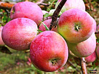 Яблоко зимнее Граф Эззо