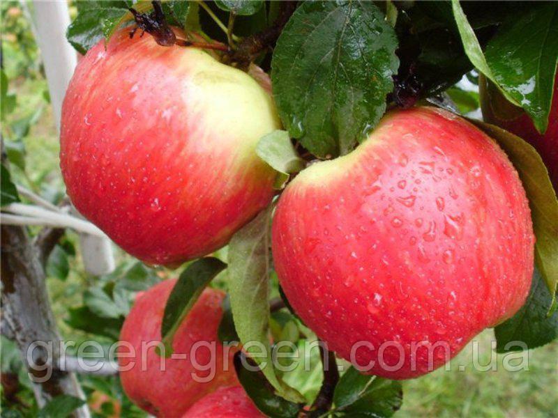 Яблоко сверх-раннее Женева Эрли, саженец