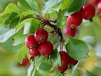 Яблоко раннее Райское