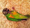 Сенегальский попугай (Poicephalus senegalus) - выкормыш
