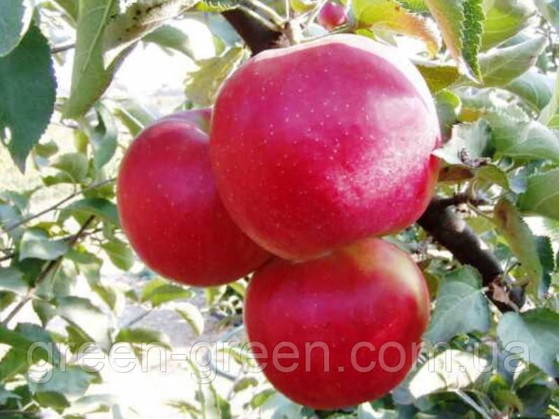 Яблоко зимнее Джонаголд
