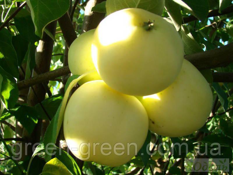 Яблоко летнее Белый налив
