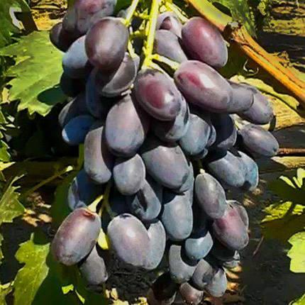 Виноград сорт Джованни, фото 2