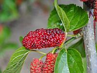 Шелковица Красная