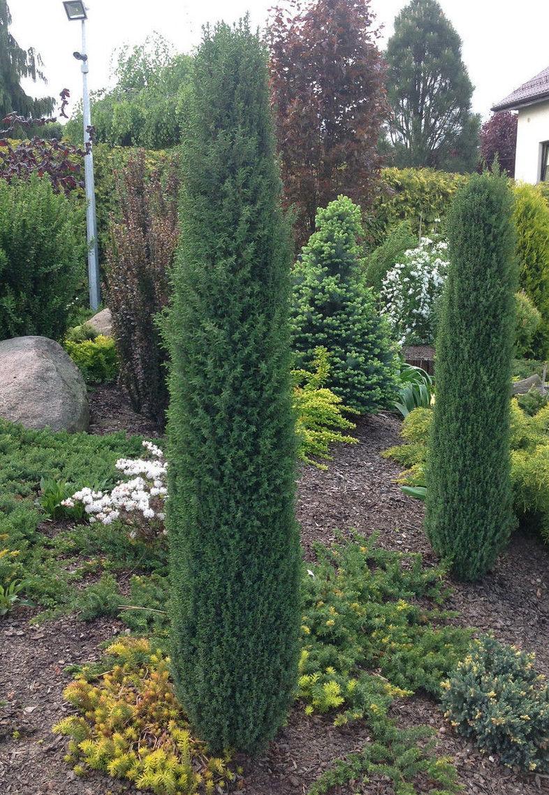 Ялівець звичайний Arnold 3 річний, Можжевельник обыкновенный Арнольд, Juniperus communis Arnold
