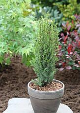 Ялівець звичайний Arnold 3 річний, Можжевельник обыкновенный Арнольд, Juniperus communis Arnold, фото 3