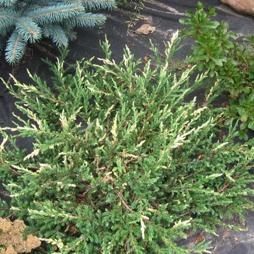 Ялівець звичайний Spotty Spreader 3 річний, Можжевельник обыкновенный Спотти Спридер, Juniperus communis