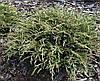 Ялівець звичайний Spotty Spreader 3 річний, Можжевельник обыкновенный Спотти Спридер, Juniperus communis , фото 2