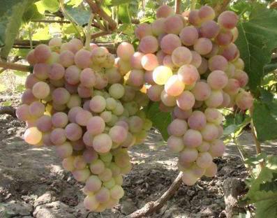 Виноград сорт Нимранг