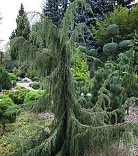 Ялівець звичайний Horstmann 3 річний, Можжевельник обыкновенный Хорстманн, Juniperus communis Horstmann, фото 3