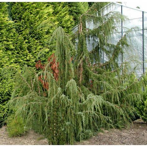 Ялівець звичайний Horstmann 3 річний, Можжевельник обыкновенный Хорстманн, Juniperus communis Horstmann, фото 2