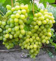 Виноград сорт Новый Подарок Запорожью