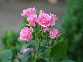 Розы бордюрные, спрей.