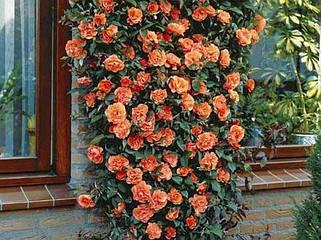 Розы плетистые (въющиеся)