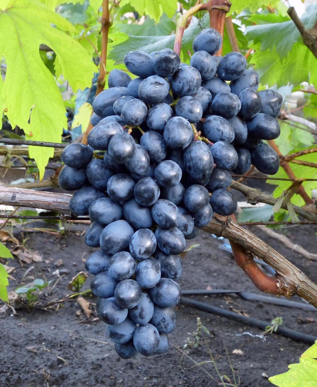 Виноград сорт кишмиш Осенний Королевский