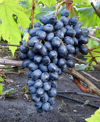 Виноград сорт кишмиш Осенний Королевский, фото 2