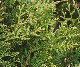 Туя західна Aureospicata 3 річна, Туя западная Ауреоспиката, Thuja occidentalis Aureospicata, фото 2