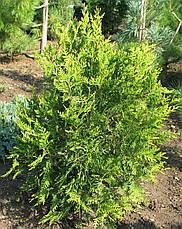 Туя західна Aureospicata 3 річна, Туя западная Ауреоспиката, Thuja occidentalis Aureospicata, фото 3