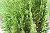Кипарисовик Лавсона Alumigold 3 річний, Кипарисовик Лавсона Алюмиголд, Chamaecyparis Lawsoniana Alumigold, фото 3