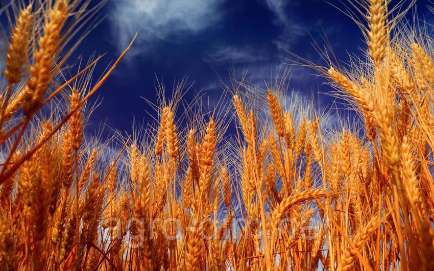 Семена озимой пшеницы Калидон, Seed Grain