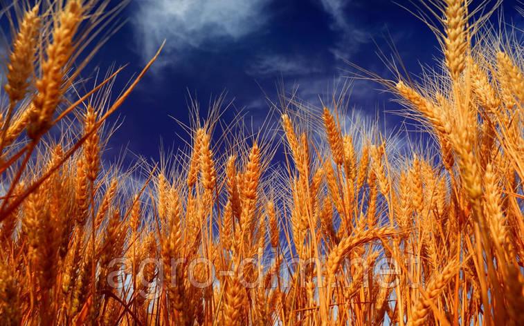 Семена озимой пшеницы Калидон, Seed Grain, фото 2