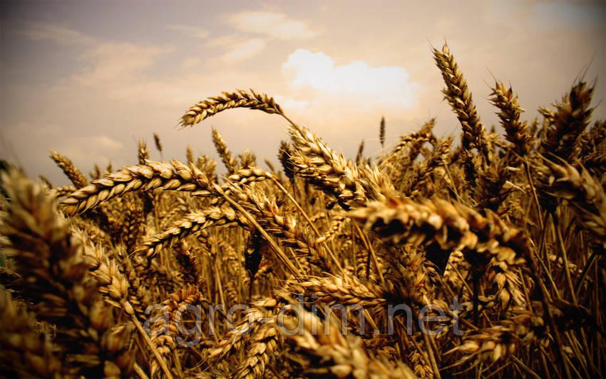 Семена озимой пшеницы Милтон, Seed Grain