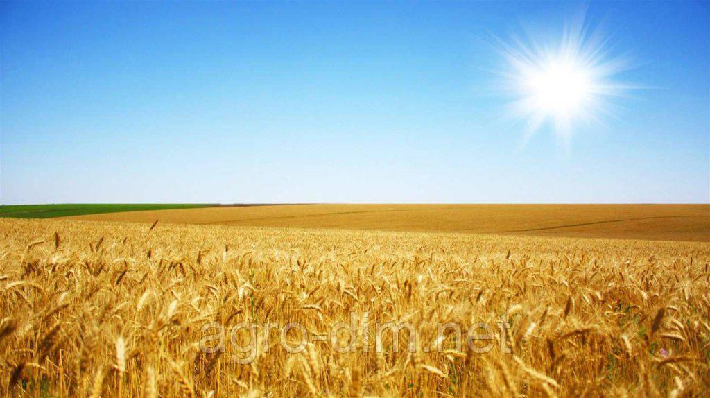 Семена озимой пшеницы Манитоба, Seed Grain