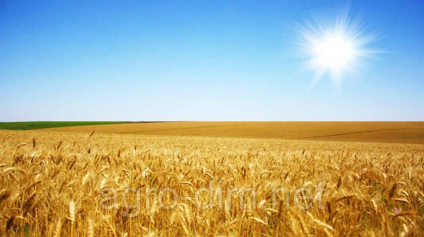 Семена озимой пшеницы Манитоба, Seed Grain, фото 2