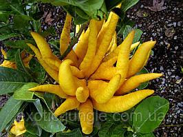 Цитрон рука Будды (лат. Citrus medica sarcodactylis) до 20 см. Комнатный