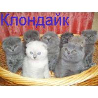 Шотландские вислоухие и прямоухие плюшевые котята в Харькове