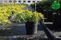"""Можжевельник пфитцериана """"Голд Стар"""" - Juniperus pfitzeriana """"Gold Star"""""""