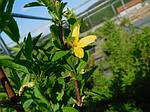 Форзиция средняя, Forsythia x intermedia 'Lynwood', 140 см, фото 6