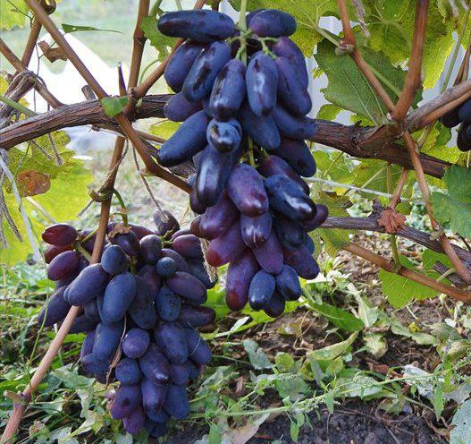Виноград сорт Ромео