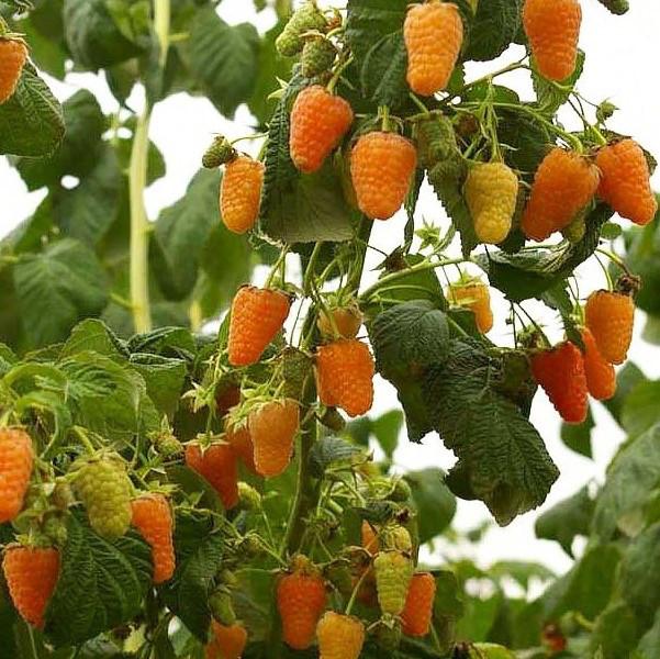 Саженцы малины Оранжевое чудо, желтая (ЗКС в горшках 0,8 л)