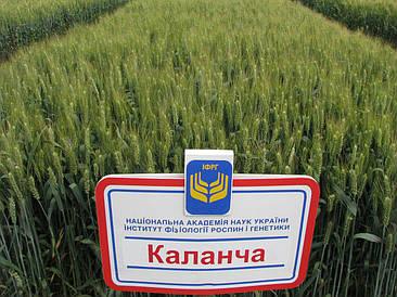 Озима Пшениця Каланча Еліта 53,0-100,2 ц/га/ Семена озимой пшеници Каланча