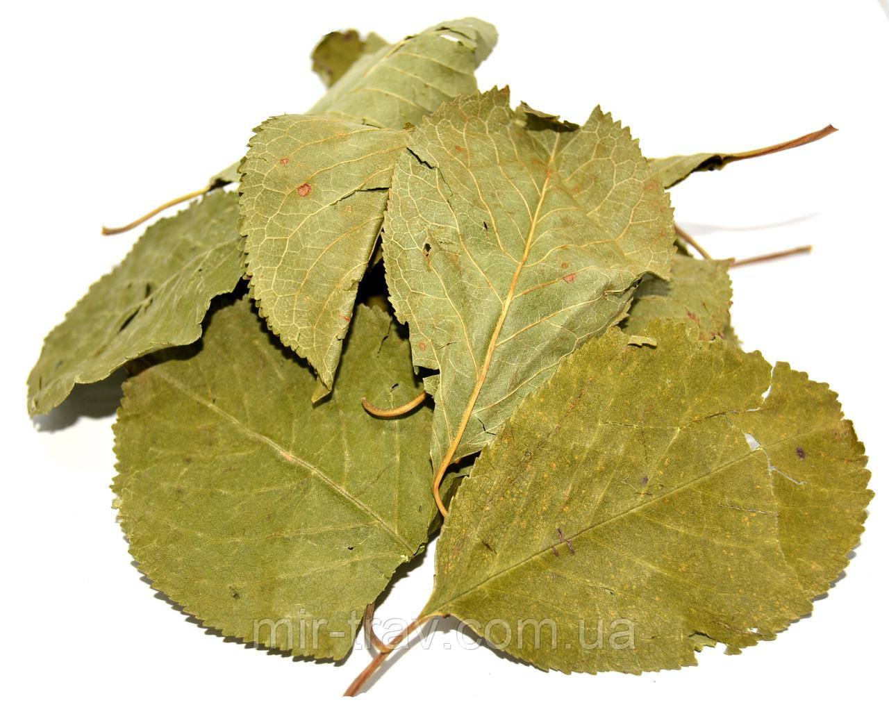 Вишня листья