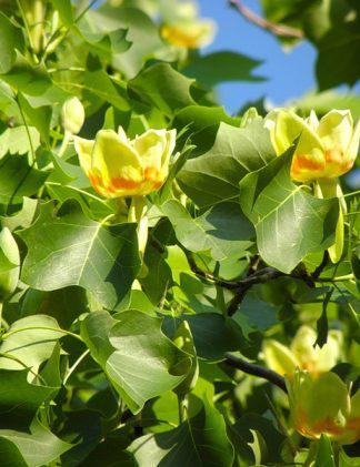 Тюльпанове дерево. Тюльпановое дерево, Лириодендрон тюльпановый , Liriodendron tulipifera, 250 см