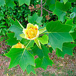 Тюльпанове дерево. Тюльпановое дерево, Лириодендрон тюльпановый , Liriodendron tulipifera, 250 см, фото 2