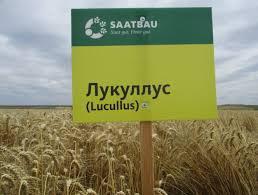 Озима Пшениця Лакуллус СН-1   - 80 - 100 ц/га Німеччина
